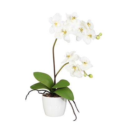 Orchidej 70cm x2 krémová (bez květináče)_0