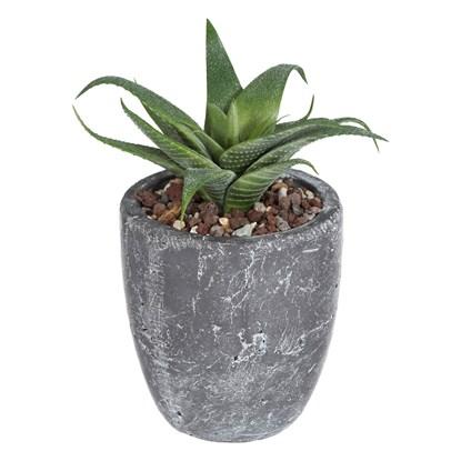 Agave venosa (pouze rostlina)_0