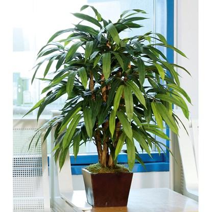Ficus 80 cm (bez květináče)_0