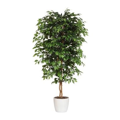 Ficus Benjamini 120 cm (bez květináče)_0