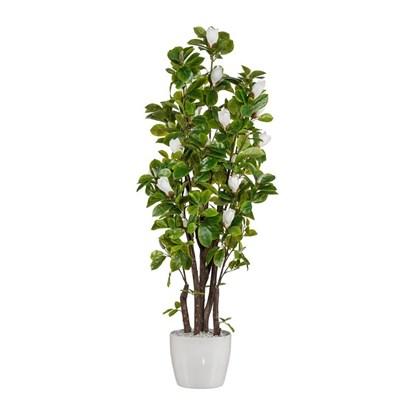 Magnolie strom x5 125 cm (bez květináče)_1