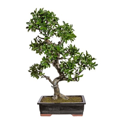 Bonsai Ficus 90 cm (vč.mísy)_0