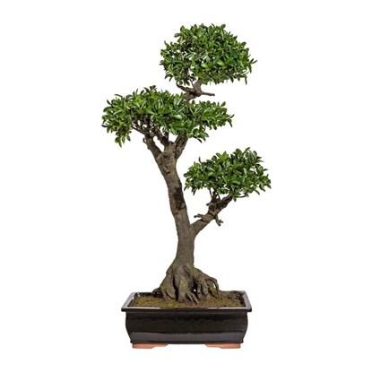 Bonsai Ficus 150 cm (vč.mísy)_1