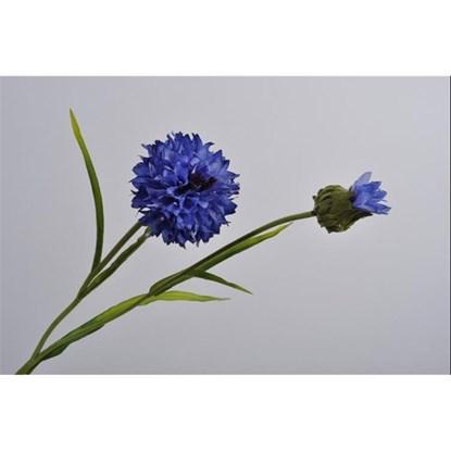 Chrpa modrá_0