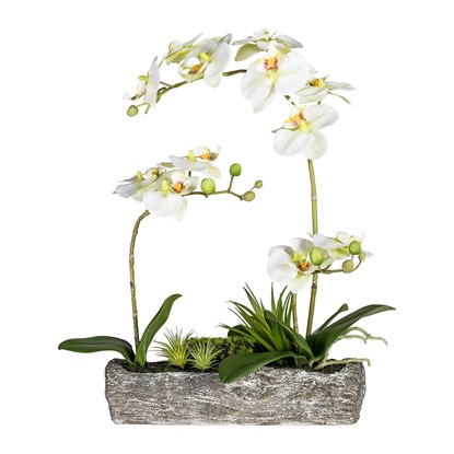 Phalaenopsisarrangement, ca 50cm_1
