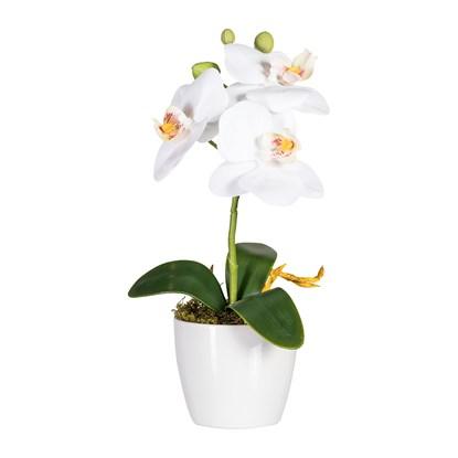 Phalaenopsis, ca 24cm_0