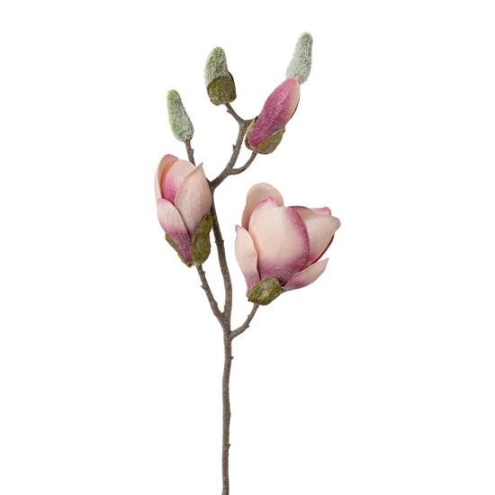 Magnolie omrzlá 43 cm_0