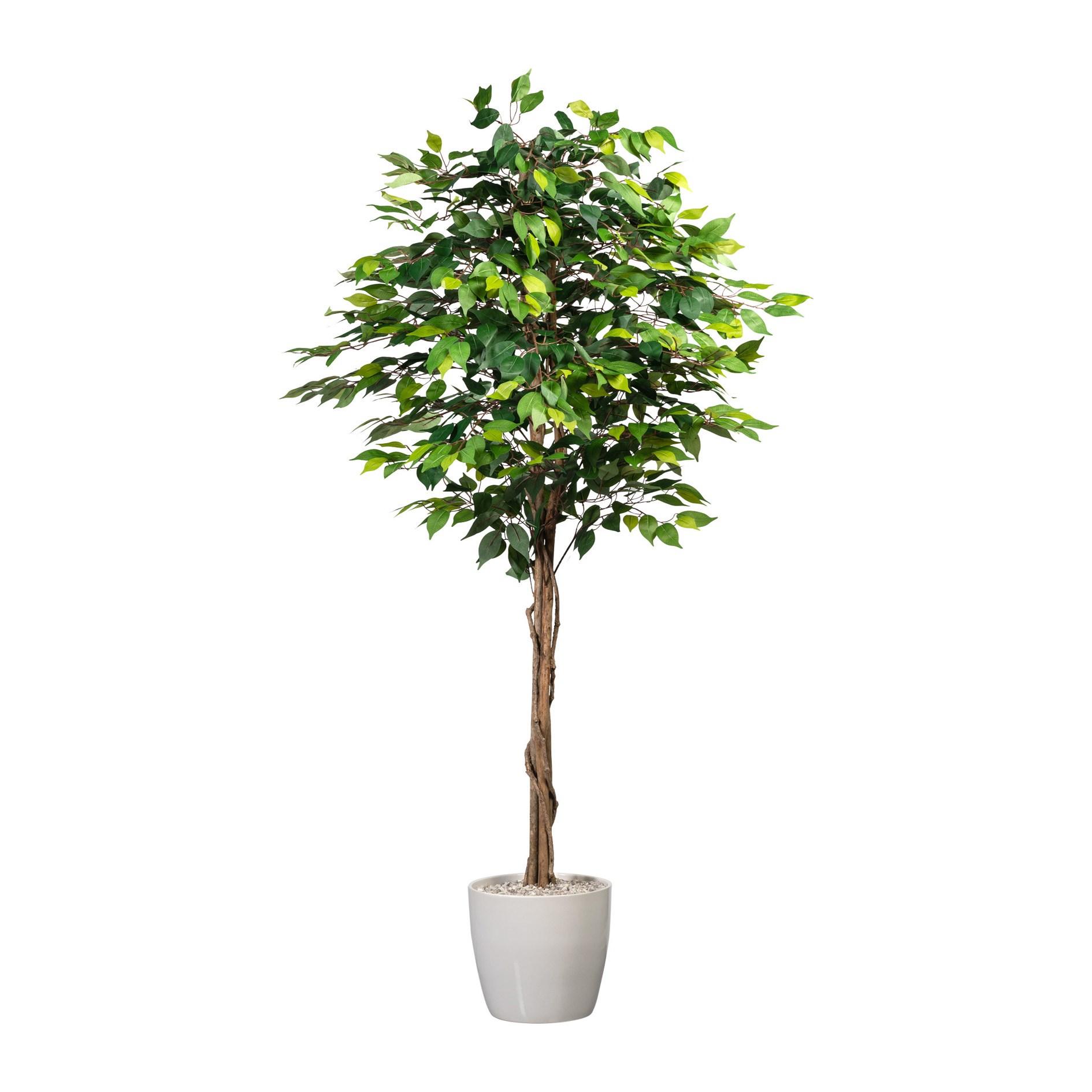 Ficus Benjamin 180cm (plastový obal)_0