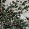Dekorace větev modřínu se šiškami LARCH 97 cm přír. zelená_0